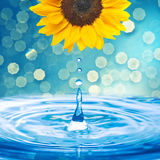 Water drop from sunflower Royalty Free Stock Photography