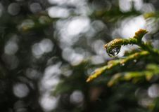 Water drop on thuja branch. Close up of water drop on tip of thuja or arborvitae branch with bokeh background Stock Photography