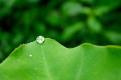 Water drop on the tip of a colocasia leaf. Against a green blurred background Stock Photos