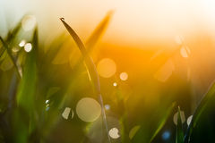 Water drop on the top of grass leaf in the sunlight Royalty Free Stock Photo