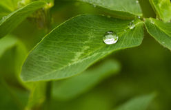 Water drop on trefoil leaf Royalty Free Stock Photos