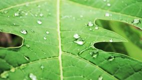 Water drop Wallpaper of Papaya Leaf stock image