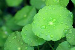 Water drop on Water Pennywort Stock Images