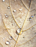 Water drop on yellow leaf Royalty Free Stock Images