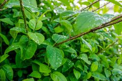 Water droplet on dark green foliage, rain drop on leaf nature ba Royalty Free Stock Photo