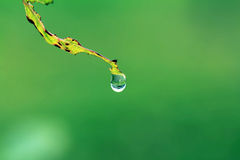 Water droplet falling from leaf Royalty Free Stock Image