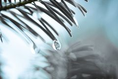 Iced Water Droplet. Water droplet falling off a pine tree in the forest Royalty Free Stock Photography
