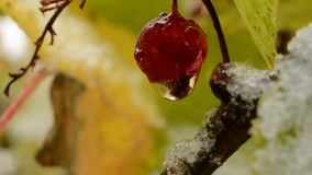 Water droplet hanging from single red redcurrant berry in autumn with snow macro. In the arctic circle stock video footage