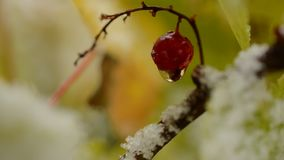 Water droplet hanging from single red redcurrant berry in autumn with snow macro. In the arctic circle stock footage