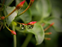 Water droplet on Jasmine Royalty Free Stock Photos