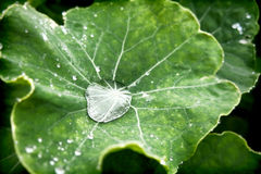Water droplet. In nasturtium plant Royalty Free Stock Photo