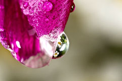 Water droplet on pink flower.  Stock Photography