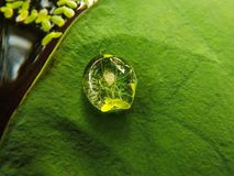 A water droplet resting on a lotus leaf. In a pond with green algae Royalty Free Stock Images