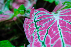 A water droplet rolling on a beautiful pink leaf. Angel Wing. Fa Stock Photos