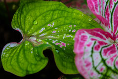 A water droplet rolling on a beautiful pink leaf. Angel Wing. Fa Royalty Free Stock Image