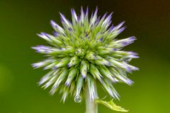 Water Droplet on Veitch`s Blue Globe Thistle Royalty Free Stock Photo