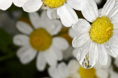 Water droplet on a white and yellow flower Royalty Free Stock Photography