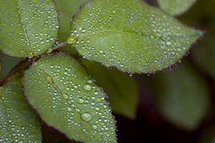 Water droplets. Rain-soaked rose bush leaves royalty free stock image