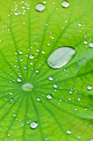 Water droplets. Details of water droplets on a green lotus leaf Stock Photography