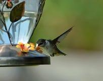 Hummingbird feeding Royalty Free Stock Photography