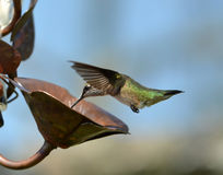 Hummingbird and Water Droplet Stock Photography