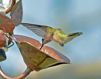 Hummingbird and Water Droplet. Arial acrobats done with speed and precision.  Hummingbirds in flight.  Looking for the feeder.  Hovering in stop mode.   Look for Royalty Free Stock Image