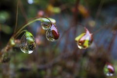 Free Water Droplets At The Tips Of Moss Seeds Royalty Free Stock Photo - 109507765