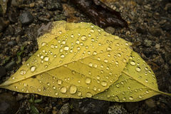 Water droplets on back of yellow birch leaves, northern Maine. Stock Photo