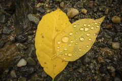 Water droplets on back of yellow birch leaves, northern Maine. Stock Photography