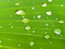 Water droplets on a banana leaf Stock Images