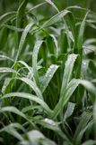 Water droplets on blades of grass after rain, greenery eco-friendly organic background, clearness, purity, freshness concept,. Ecology, summer natural plant royalty free stock images