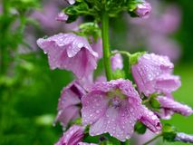 Water Droplets On Blooms. Mallow flowers blooming abundantly in the yard. I call them Grandmother flowers as I got the original plant from her old homestead Stock Image