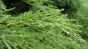 Water droplets on a branch of a thuja Stock Image