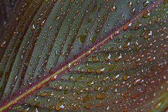 Water droplets on canna leaf Stock Photography