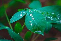 Water droplets on cassava leaves in Bogor, West Java, Indonesia