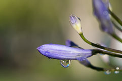 Water Droplets on Crocus Bud Flower. Close up of a water dews on a flower bud of a crocus royalty free stock photos