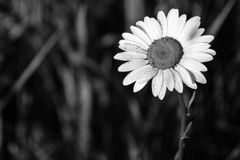 Water Droplets On Daisy Flower Black And White. Black and white photograph of single daisy flower with water droplets on white petals Stock Images