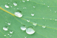 Water droplets on Eucalyptus Stock Images