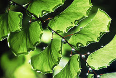 Water Droplets on Fern. Fresh green fern leaves, Water Droplets on Royalty Free Stock Photo