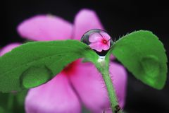 Water droplets pink flower. Water droplets on flower beauty close up garden leaft macro plants botany flora stock images