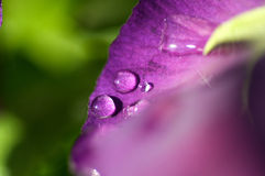 Water Droplets on Flower Leaf. Close up of a water dews on a flower leaf stock images