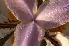 Water droplets on flower Royalty Free Stock Photography