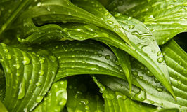 Water droplets on a fresh green leafs Royalty Free Stock Photos