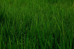 Water droplets on the grass. Stock Photo