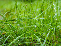 Water droplets on grass from rain at early morning. Up close royalty free stock photos