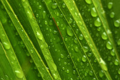 Water droplets on green. A palm leaf covered in waterdrops after rain and a misty morning Royalty Free Stock Photo