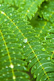 Water droplets on green acacia leaves after the rain. Royalty Free Stock Photos