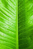 Water droplets on green leaf Royalty Free Stock Image