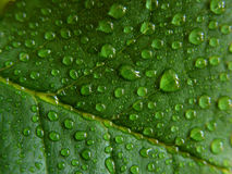Water droplets on green leaf Royalty Free Stock Photos