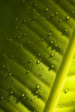 Water droplets on green leaf - detail. A detail of water drops on structured piece of a green leaf, green background Royalty Free Stock Photos